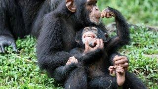 Chimp Life Diary - BBC