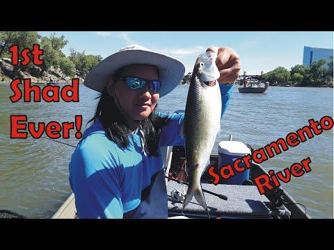 Shad Fishing Report Sacramento River | New American #Shad Record For The Sacramento River?