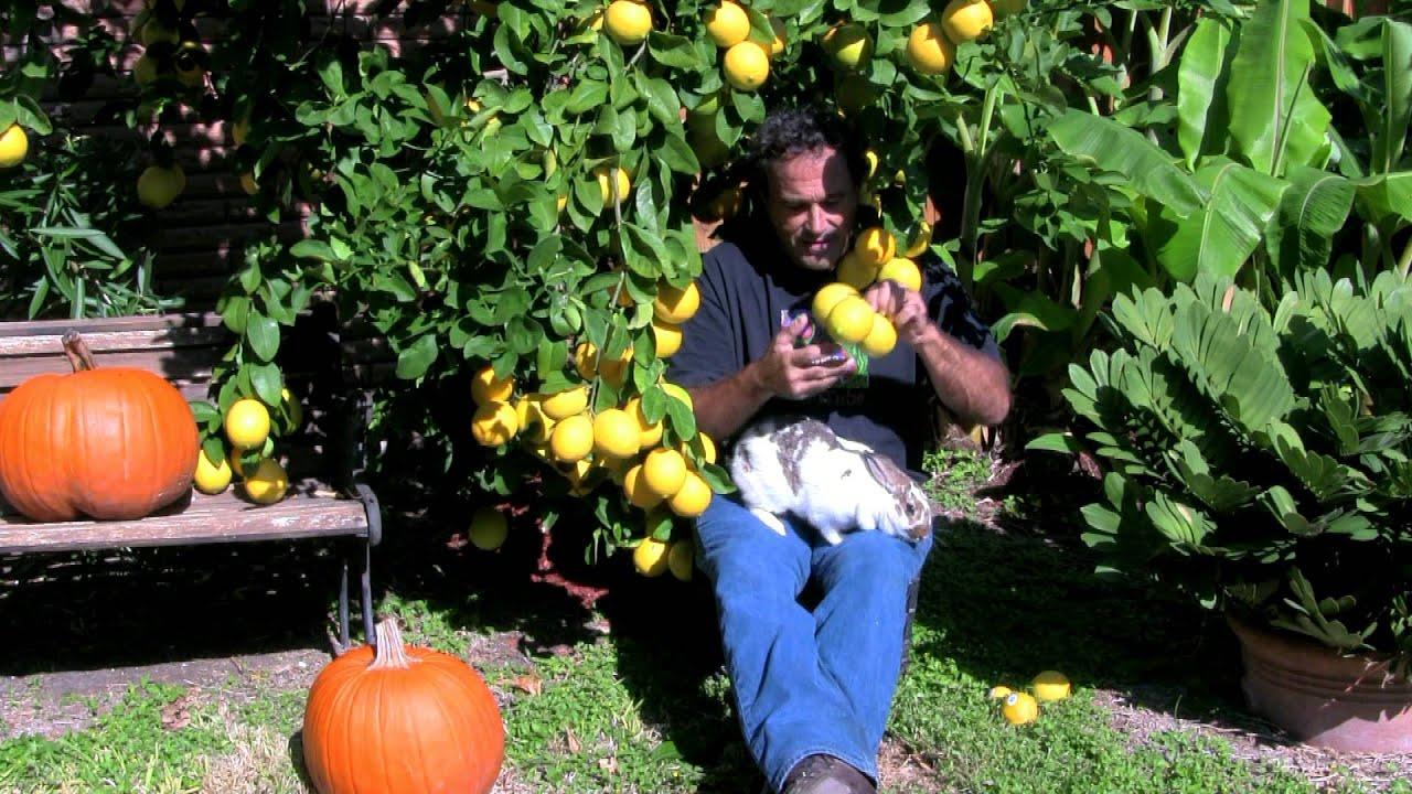 How do you prune a Meyer lemon tree?