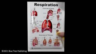 Respiration Large Poster