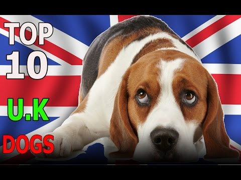 Top 10 U.K dog breeds | Top 10 animals