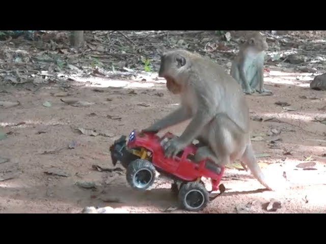 How To Make Fun With Monkeys | Everyday Monkey Funny YouTube Videos From Cambodia