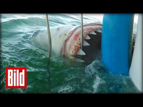 Weißer Hai greift an - Attacke auf Käfig in Südafrika ( tauchen / scuba / Jaws)