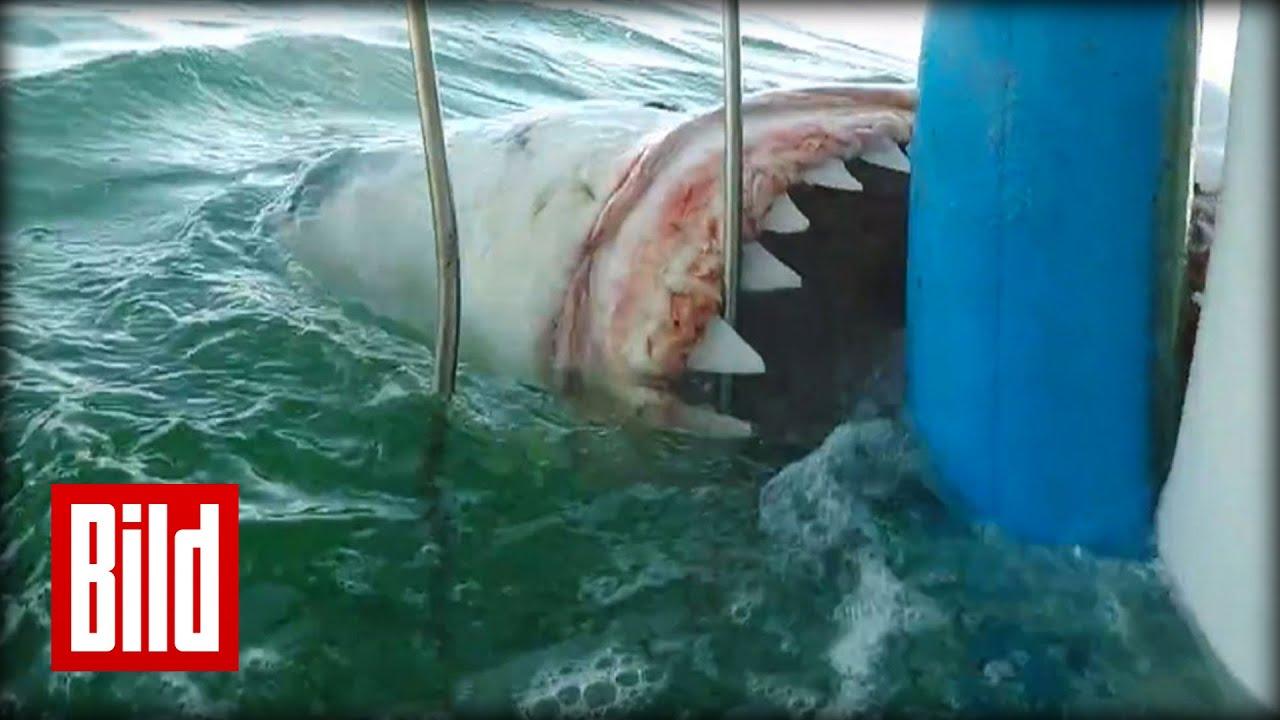 Weißer Hai greift an - Attacke auf Käfig in Südafrika ( tauchen / scuba / Jaws) - YouTube