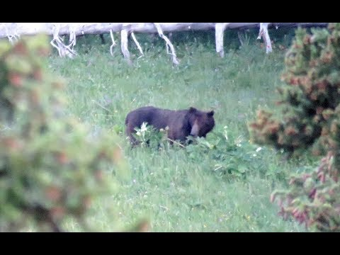 Looking for grizzly bear in Portal Creek near Yellowstone National Park