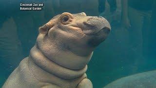 Meet the Cincinnati Zoo's viral social media star Fiona the hippo