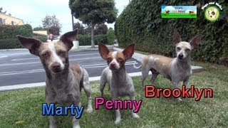 Marty, Brooklyn and Penny: Chihuahua rescue in South Central Los Angeles.  Please share!!!