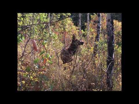 5x5 Bull Elk At 10 Yds   2018 Elk Hunt