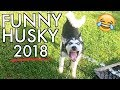 FUNNY Husky TALKING Compilation - Hilarious Siberian Huskies 2018! (Bonus Video)