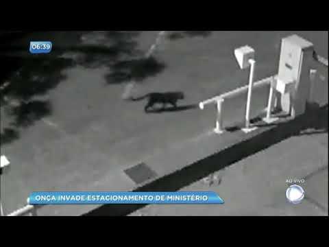 Onça invade estacionamento do Ministério das Relações Exteriores em Brasília