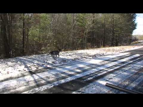 Australian Cattle Dog Running Fast