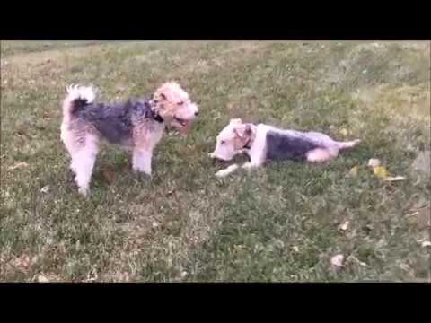WIRE FOX TERRIER TOKYO LOVES TO PLAY WITH FABIO