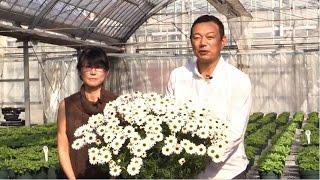 マックスマムの満開時の花がら摘みのポイントをご覧いただけます。 花が...