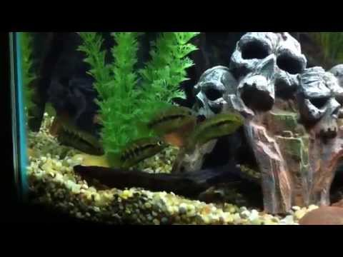 Rainbow Cichlids in the house !!!