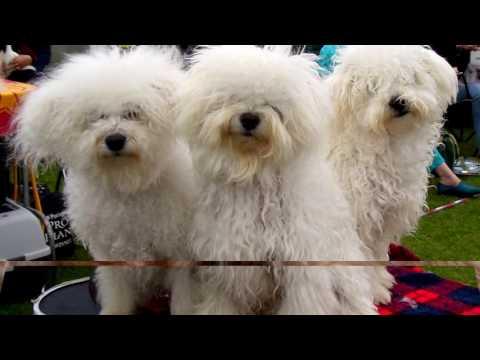 Порода собак. Бишон-хаванез. Редчайшая порода. Осталось очень мало