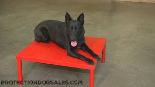 Black German Shepherd Chili von Prufenpuden Elite Home Raised Personal Protection Dog For Sale