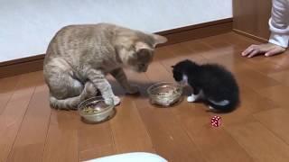 ひのきのご飯が気になって仕方がない子猫がかわいい  The kitten can't stop thinking