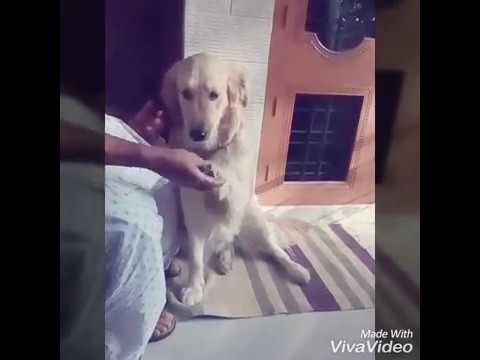 Best Of Cute Golden Retriever - Funny Dogs 2018