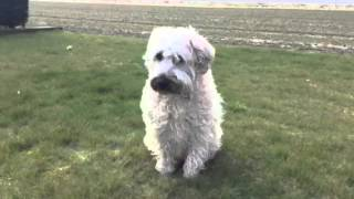 Irish Soft Coated Wheaten Terrier, Camacha Kennels.