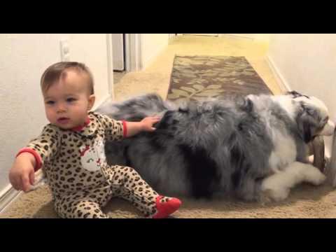 Baby conquers Australian Shepherd 'mountain' climb
