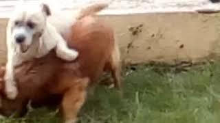 Собачки застряла половой орган , теперь это пёса пес