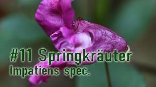 Outdoor Survival Doku: Essbare Pflanzen, Die Dirty Dozen:  Springkräuter