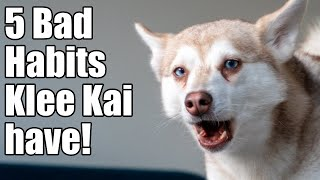 Alaskan Klee Kai: 5 Bad Habits These Mini Husky Have