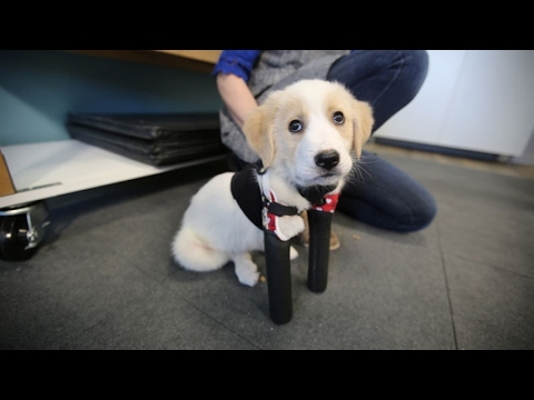 Cupid, the 2-legged puppy, steals hearts