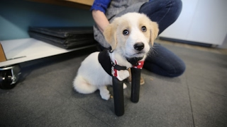 Cupid, the 2legged puppy, steals hearts