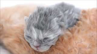♡ 5 Day Old Persian Kittens ♡