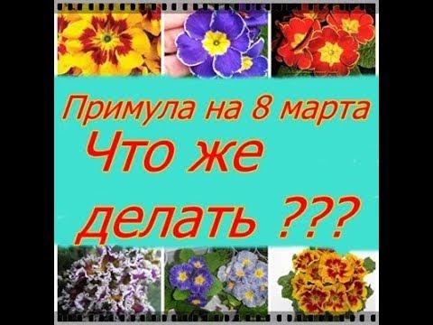 Вопрос: Примула акаулис, можно ли растить в домашних условиях Как?