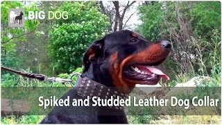 Spiked And Studded Wide Leather Dog Collar On Rottweiler