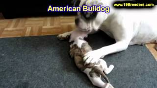 American Bulldog, Puppies, For, Sale, In, Minneapolis, Minnesota, Mn, Inver Grove Heights, Roseville