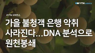 가을 불청객 은행 악취 사라진다...DNA 분석으로 원…