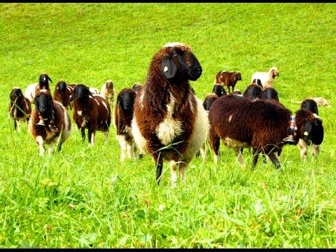 Die 10 sch nsten h hnerrassen dokumentation h hner tiere for Schafe halten im garten