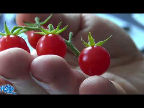 Matt's wild cherry tomato | Lycopersicon lycopersicum | Tomato review
