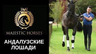 Majestic Horses - Продажа андалузских лошадей из Германии и Испании