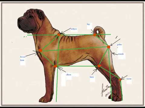 TaiBet Bell Shar-Pei : Coat and Tail by FCI Standard