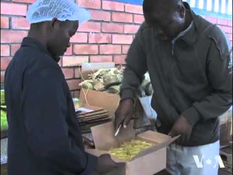 Marula Oil to Fight Poverty in Swaziland