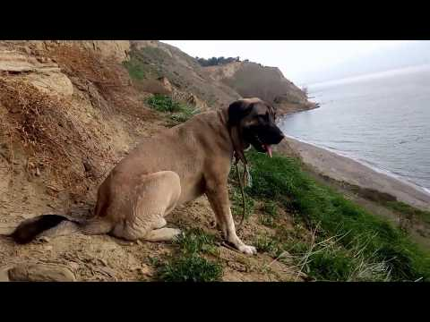 KangalTV MASKOTUMUZ ANADOLU ÇOBAN KÖPEĞİMİZ AFRiN MANZARA - ANATOLiAN SHEPHERD DOG LANDSPACE