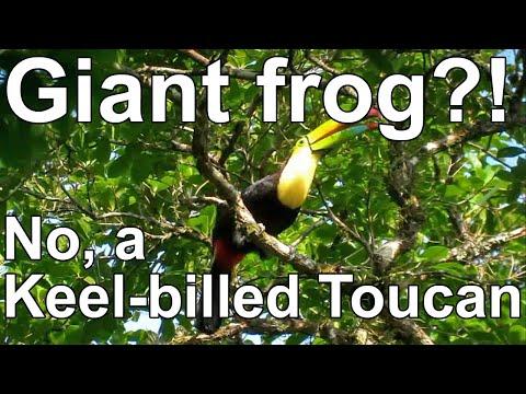 Birding Guatemala: Keel-billed Toucan