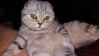 Красивая Кошка Scottish Fold Умывается Ночью 😻 Видео про котов и кошек 2017 🐱 Животные