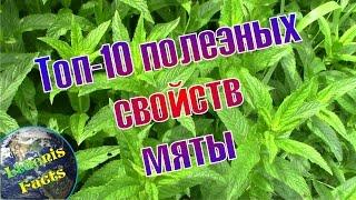 Топ-10 полезных свойств мяты