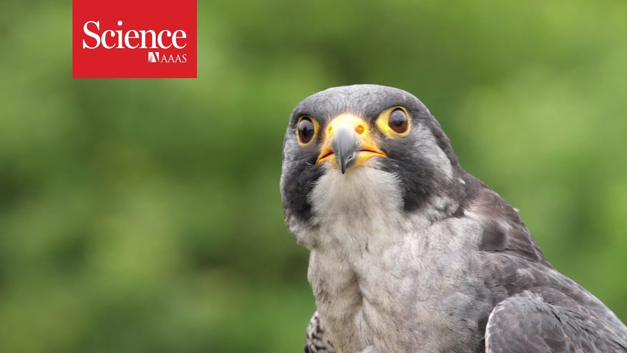 Peregrine Falcons Maneuver Best When Dive Bombing At Over 300 Km Hr Youtube