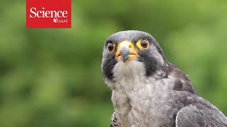 Peregrine falcons maneuver best when dive-bombing at over 300 km/hr