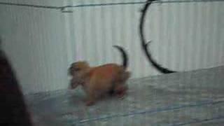 Maruko Holland Lop baby bunny - Happy in her playpen!