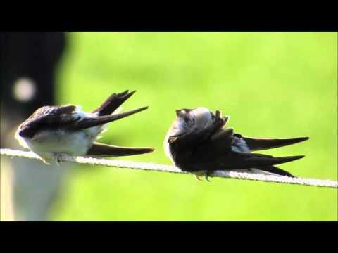 Annelies van Klinken   Huiszwaluw – Delichon urbicum