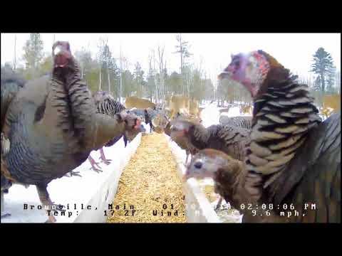 "Brownville's Food Pantry For Deer ""Tom Turkey Strutting His Stuff"" 1 30 18"