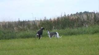 Sighthounds running on the field