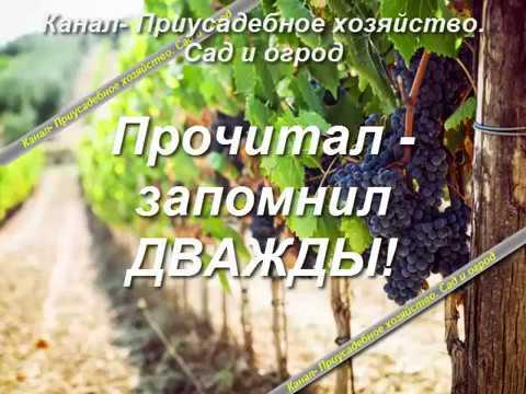 Виноград кишмиш особенности посадки и ухода.